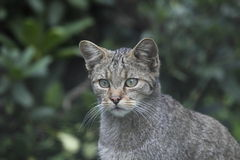 Wild cat in wildlife park Stock Photo