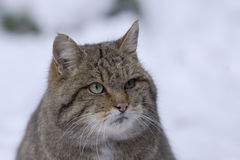 Wild cat in winter Stock Photography