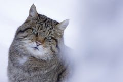 Wild cat in winter Stock Images
