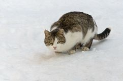 Wild cat during the winter hunting Stock Photo