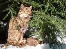 Wild cat in winter Royalty Free Stock Photos