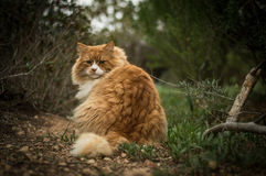 Wild cat in woods. Wild fluffy cat in nature looking at you Royalty Free Stock Photography