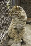 Wild cat in the zoo. Far East wild cat royalty free stock image