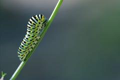Wild caterpillar of Papilio Macaone Stock Photos
