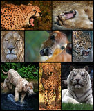 Wild cats collection. Collection of mammals predators with pray in middle Royalty Free Stock Photos