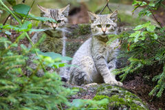 Wild cats Royalty Free Stock Images