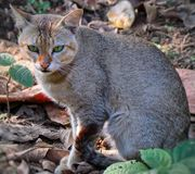 A wild cats eyes stock images