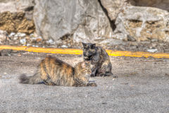 Wild cats on the road Royalty Free Stock Photo
