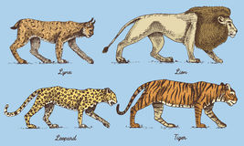 Wild cats set, Lynx lion leopard and tiger engraved hand drawn in old sketch style, vintage animals Stock Images