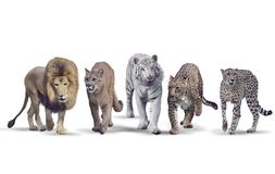 Wild cats on white background. Group of Wild cats on white background stock images