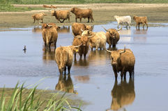 Wild cattle look for cooling down, something to drink Stock Photography