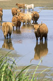 Wild cattle look for cooling down, something to drink Royalty Free Stock Image