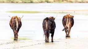 Wild cattle walking away on wet sand royalty free stock photography