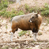 Wild Cattle Royalty Free Stock Image