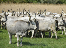 Wild cattles on the meadow Stock Photos