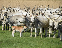 Wild cattles on the meadow Stock Photography