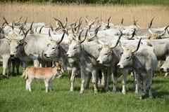 Wild cattles oudoors Stock Image