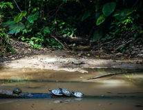 Wild cayman and turtles in Ecuadorian Amazonia, Misahualli Stock Photos