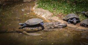 Wild cayman and turtles. Tortoise on the back of a caiman Stock Photo