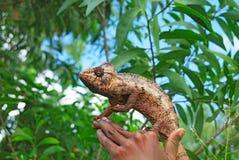 Wild chameleon on hand Royalty Free Stock Image