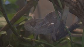 Wild chameleon during hunting i the tropical forest.  stock video footage