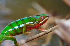 Wild chameleon walking stock image