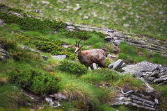 Wild chamois on alps. Gran paradiso, italian alps, wild chamois background Royalty Free Stock Photo
