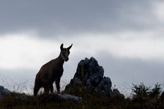 Wild chamois in backlight standing in front of us, Jura, France Stock Photos