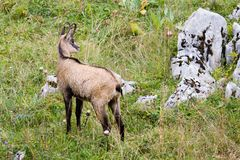 Wild chamois in backlight standing, Jura, France Royalty Free Stock Photos