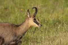 Wild chamois in a field, Jura, France Stock Image
