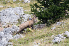 Wild chamois in a field, Jura, France Royalty Free Stock Photos