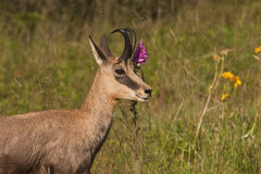 Wild chamois in a field in spring season, Jura, France Stock Photography