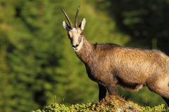 Wild chamois looking at the camera Royalty Free Stock Photo
