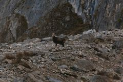 Wild Chamois/Mountain Goat in Austria royalty free stock photos
