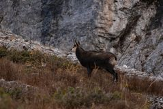Wild Chamois/Mountain Goat in Austria royalty free stock photography