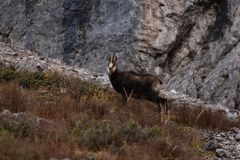 Wild Chamois/Mountain Goat in Austria royalty free stock image
