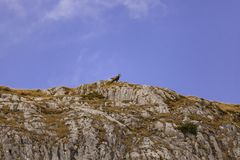 Wild Chamois/Mountain Goats in Austria royalty free stock photo