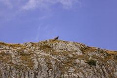 Wild Chamois/Mountain Goats in Austria royalty free stock photo