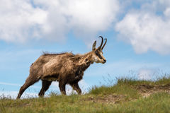 Wild chamois on the mountain grassy ridge Royalty Free Stock Photography