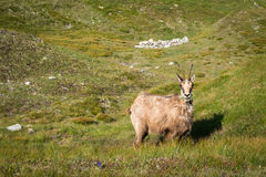 Wild chamois on the mountain meadow Royalty Free Stock Images