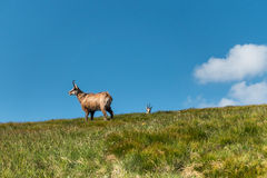 Wild chamois on the mountain meadow Stock Images