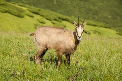 Wild chamois in mountains Stock Photography
