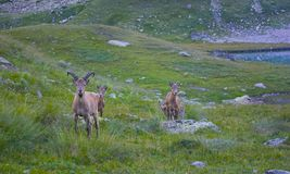 Wild chamois National Park in the mountains Stock Image