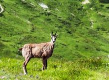 Wild chamois Stock Image