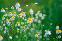 wild chamomile Royaltyfri Bild