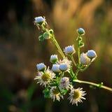 Wild chamomile. Close up of wild chamomile white flowers Stock Images