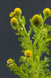 Wild chamomile Royalty Free Stock Images