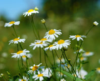 Wild Chamomile Stock Photography