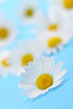 Wild chamomile Royalty Free Stock Photo