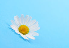 Wild chamomile Royalty Free Stock Photos